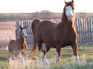 Large-breed horses are often bought first at slaughter auctions.