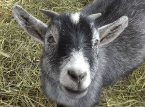 This blind goat doles out endless amounts of gratitude and affection.